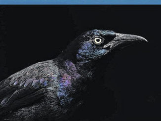 Matt Cuda's photograph of a common grackle, a blackbird native to North Carolina, made him winner of the 2020 Wildlife in North Carolina Photo Competition. As winner of the grand prize, Cuda's photo is featured on the cover of the January/February 2021 Wildlife in North Carolina issue, and he will receive $200.                                  Courtesy photo | Matt Cuda