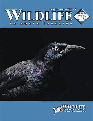 Portrait of grackle wins 2020 Wildlife in North Carolina Photo Competition