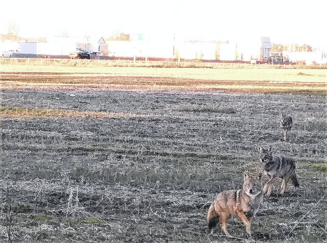 Coyotes coming through