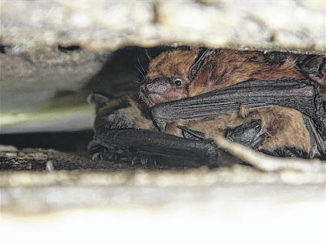 Wildlife Commission: Evict bats from home before pup-rearing season begins May 1