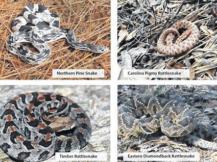 N.C. Wildlife Resources Commission asks that 'if you see a pine snake or rattlesnake, report it'