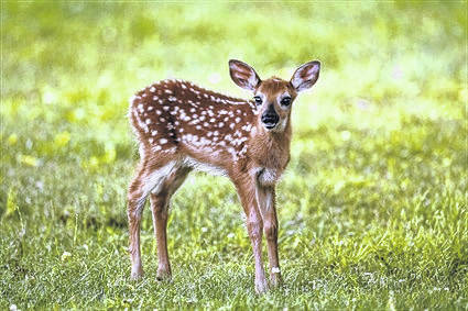 Wildlife Commission advises public not to try to 'save' fawns they think are abandoned
