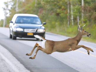 Animal-related vehicle crashes decline 8.5% across N.C.